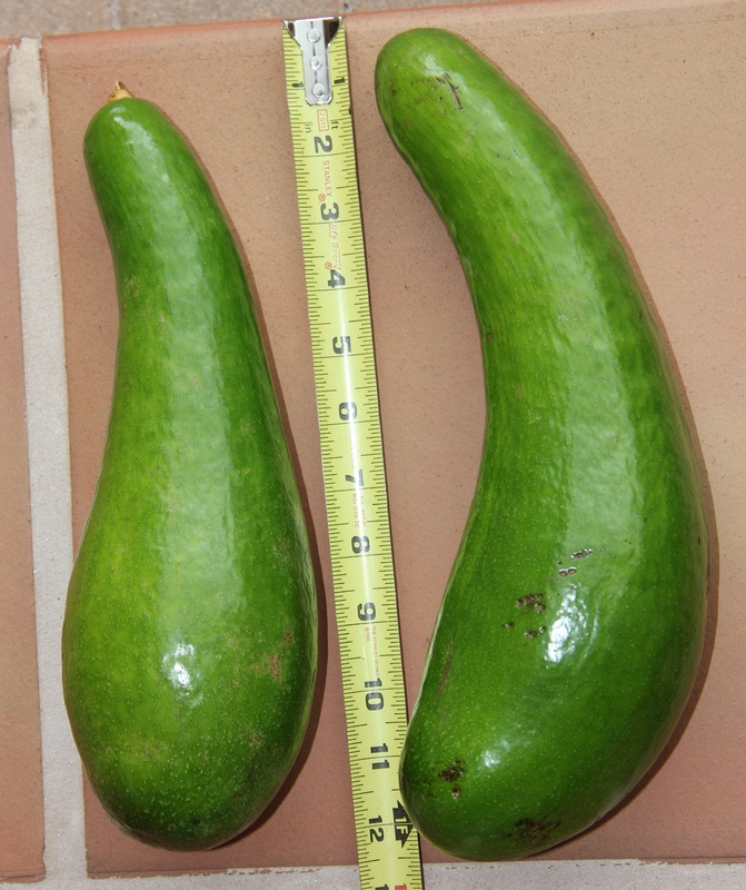 Russell Avocado fruit
