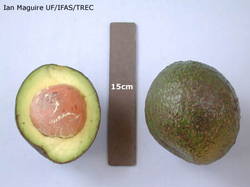 Brooks Late Avocado