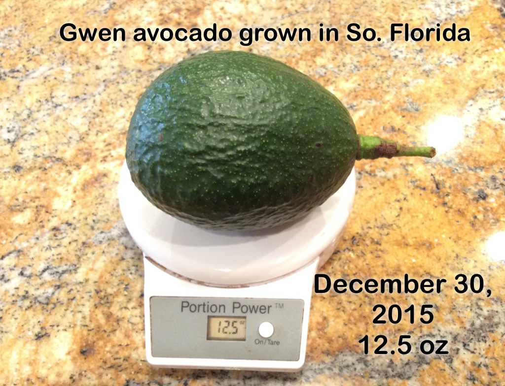 Gwen Avocado grown in Florida
