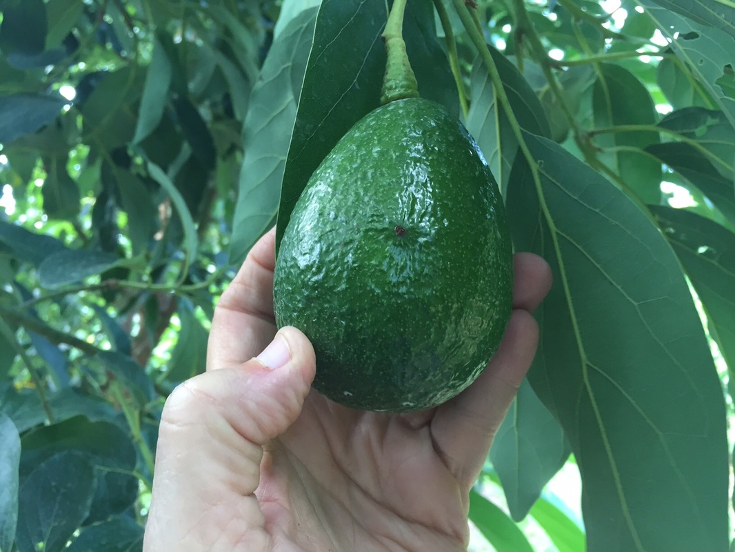 Reed Avocado growing in South FLorida